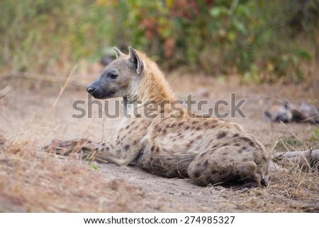 An alert spotted hyena resting on dry grass - stock photo