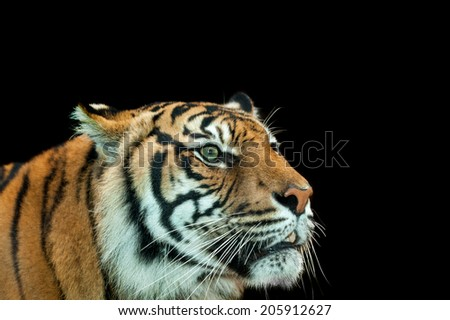 an alert tiger, one of the big cats, feared as maneater in India - stock photo