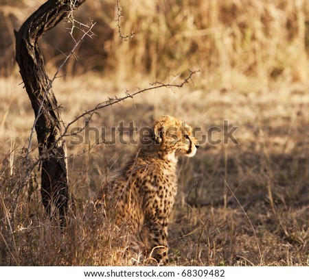 An alert young cheetah cub sitting in sunlight. The cheetah (acinonyx jubatus) is a member of the cat family (felidae). It is the fastest land mammal, yet lacks the climbing abilities of other cats. - stock photo