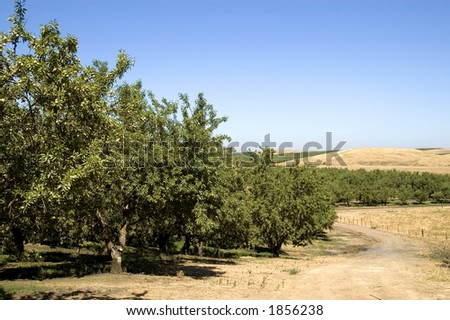 An almond orchard landscape. - stock photo
