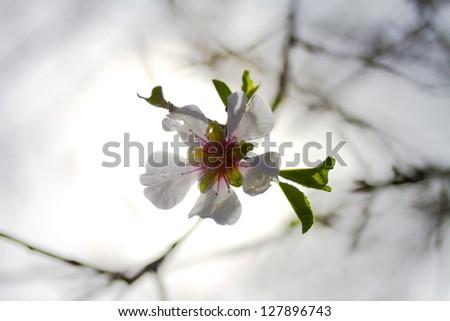 an almond tree flower in a haze background - stock photo