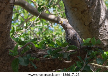 An almost grown African Harrier Hawk or Gymnogene (Polyboroides typus) calling for a parent - stock photo