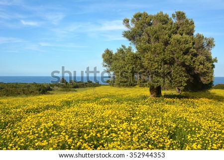 An alone olive tree on a field with yellow flowers with a blue Mediterranean Sea on background - stock photo