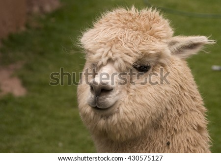 An alpaca in Peru can be distinguished from llamas by its short snout and very furry face. - stock photo