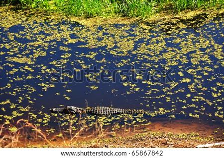 an American alligator (Alligator mississippiensis) of Paynes Prairie State Preserve, Gainesville, FL - stock photo