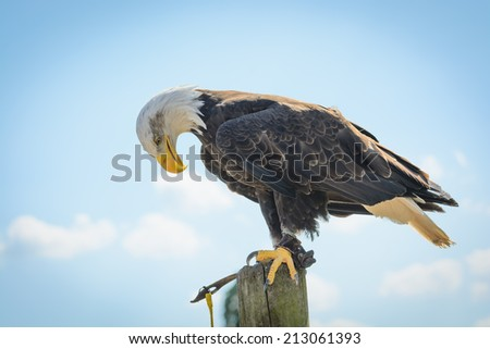 An American Bald Eagle holding it's head down - stock photo