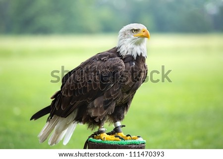 An American bald eagle perched on perch - stock photo
