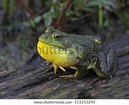 An American Bullfrog (Rana catesbeiana) in the middle of a full ribbit.  Shot in Cambridge, Ontario, Canada.  - stock photo