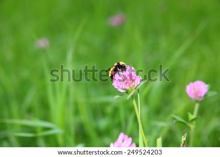 An American Bumble Bee (bombus pennsylvanicus) harvesting pollen from a flower - stock photo