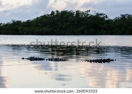 An American crocodile (Crocodylus acutus) swims near a mangrove on Turneffe Atoll off the coast of Belize. This large reptile is widespread and males can grow up to 20 feet in length. - stock photo