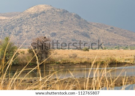An American Fish Eagle perches on top of a tree in front of the rolling hils of the Pilanesberg National Park, South Africa. - stock photo