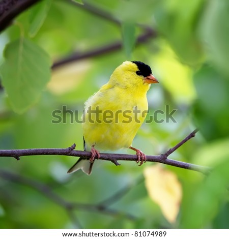 An American Goldfinch perched in a tree with a green background. - stock photo