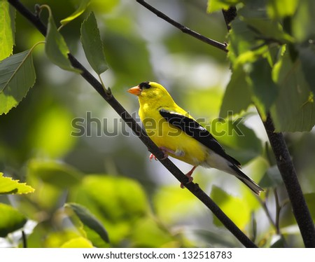 An American Goldfinch perched on a tree limb. - stock photo