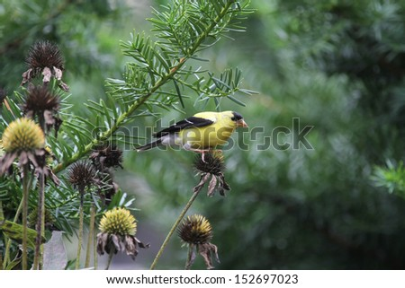 An American Goldfinch sitting on a thistle with green plants in the background - stock photo