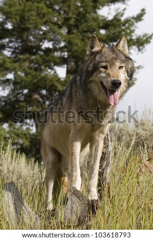 An American Gray Wolf pauses to wait for the rest of his pack - stock photo