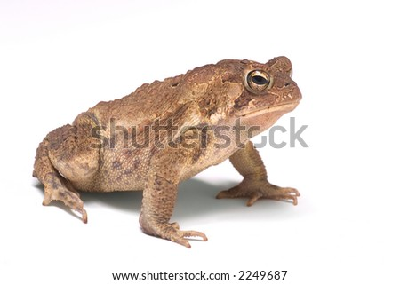 An American Toad on white - stock photo