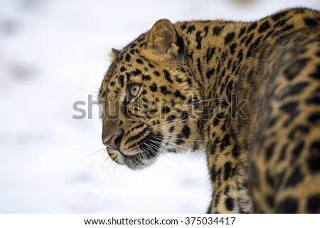 An Amur leopard head against a snowy background - stock photo