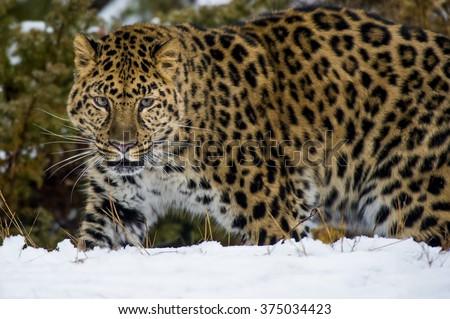 An Amur leopard walks in a snowy forrest - stock photo