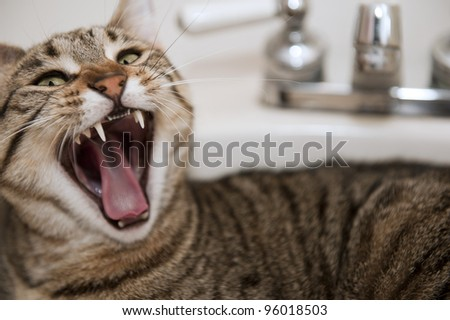 An angry cat lying in a bathroom sink bares its fangs, selective focus on fangs - stock photo