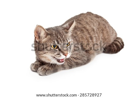 An angry Domestic Shorthair Tabby Cat with its mouth open hissing. Cat is laying while looking off to the side. - stock photo