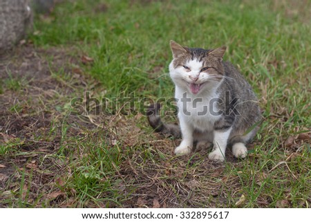 An angry fat cat sitting on green grass