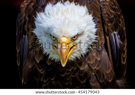 An angry north american bald eagle on black background. - stock photo