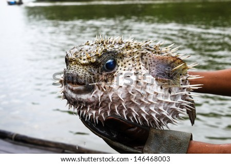 An angry puffed up blowfish  - stock photo
