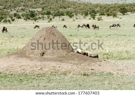 An ant mound and a carcass lying nearby in the savannah grassland - stock photo