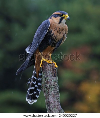 An Aplomado Falcon (Falco femoralis) staring at the camera.  - stock photo