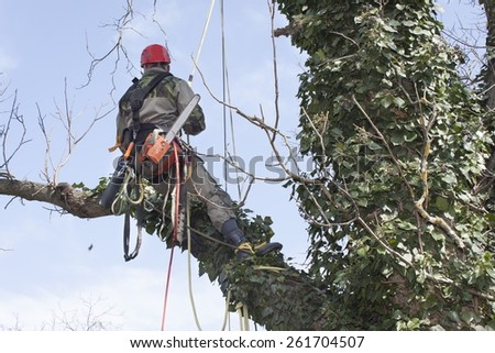 An arborist using a chainsaw to cut a walnut tree, tree pruning - stock photo