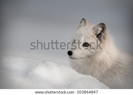 An Arctic Fox in its' winter coat. Looking left out of the frame. - stock photo