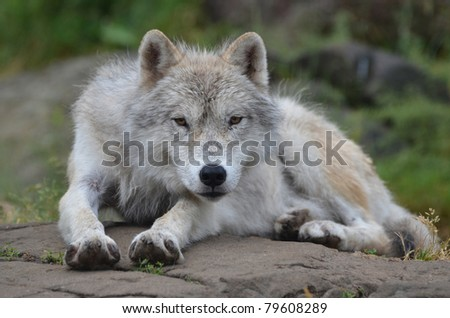 An Artic wolf lying on warm rocks on a cold spring day. - stock photo