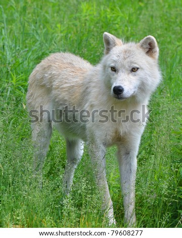 An Artic Wolf standing in tall grass - stock photo