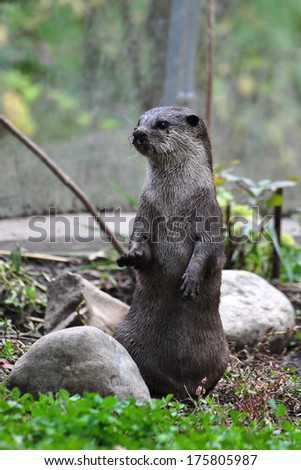 An Asian small-clawed otter (Aonyx cinerea) at the Smithsonian National Zoological Park in Washington, DC, USA.  - stock photo