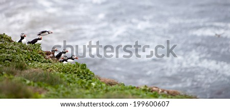 An Atlantic Puffin colony on the cliffs of Grimsey Island, Iceland - stock photo