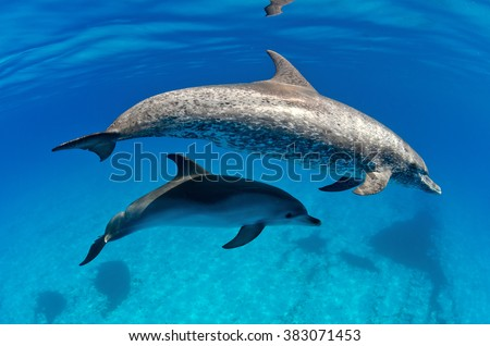 Atlantic Spotted Dolphins Stock Photos, Images, & Pictures ...