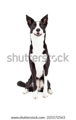 An attentive Border Collie Mix Breed Dog sitting while looking forward.  - stock photo
