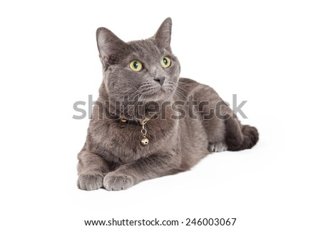 An attentive Grey Domestic Shorthair Cat laying at an angle while looking upwards.  - stock photo