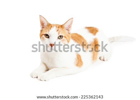 An attentive Orange Tabby Cat laying at an angle and looking directly into the camera.  - stock photo