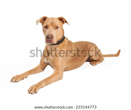 An attentive Staffordshire Bull Terrier Mix Breed Dog laying at an angle while looking forward.  - stock photo