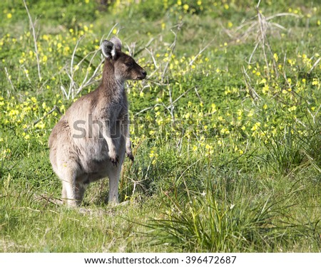 An  Australian  brown kangaroo jill   macropus rufus with joey in her pouch grazing on a cloudy morning  in a paddock of green grass   after winter rains.   - stock photo