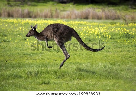 An   Australian  brown kangaroo macropus rufus hopping away after  grazing on a cloudy morning  in a paddock of green grass after early winter rains .  - stock photo