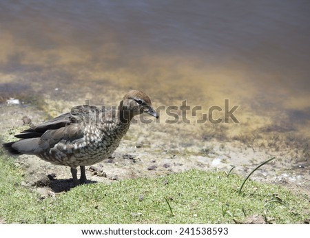 An  Australian brown wood duck chenonetta jubata standing on the green grassy bank of the lake in Big Swamp Bunbury Western Australia on a sunny summer afternoon. - stock photo