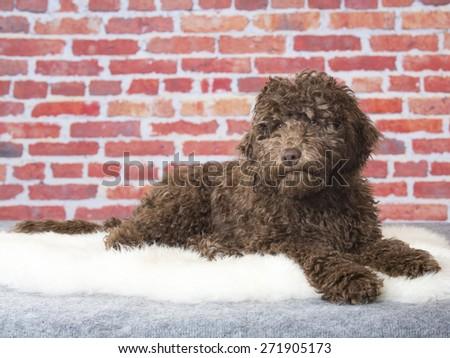 An Australian labradoodle portrait. Image taken in a studio. - stock photo