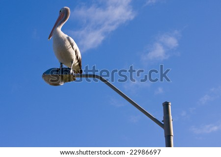 An Australian pelican perched on a lamppost - stock photo