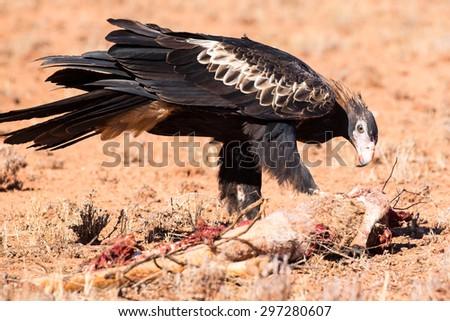 An Australian Wedge-tail Eagle feeds on a dead Kangaroo near Uluru in Northern Territory, Australia - stock photo