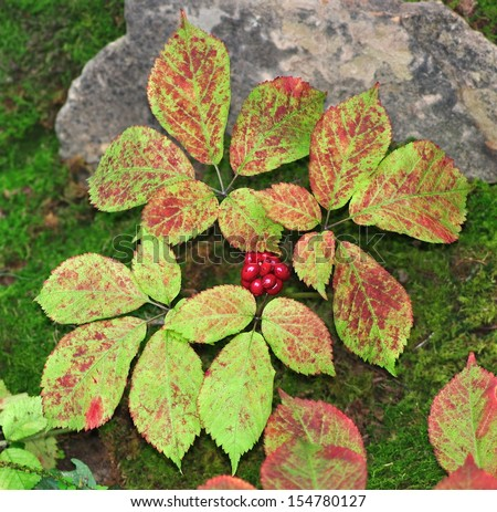 An autumn American Ginseng plant (Panax quinquefolius) growing on the forest floor. - stock photo