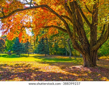An Autumn shade tree in this park in Bucks County Pennsylvania. - stock photo