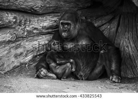 An baby ape and his adopted mother. - stock photo