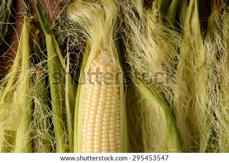 An ear of fresh picked corn on the cob. It is partially shucked and surrounded by more silk and husk in horizontal format. - stock photo